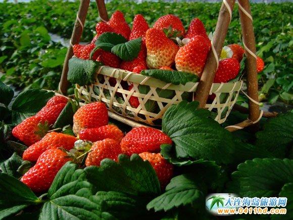 大连牛牛九九草莓采摘园,用心做品质,口味最重要
