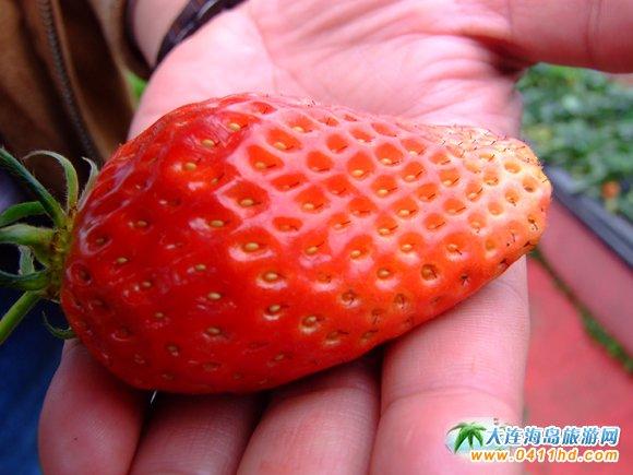 大连耀阳草莓采摘基地