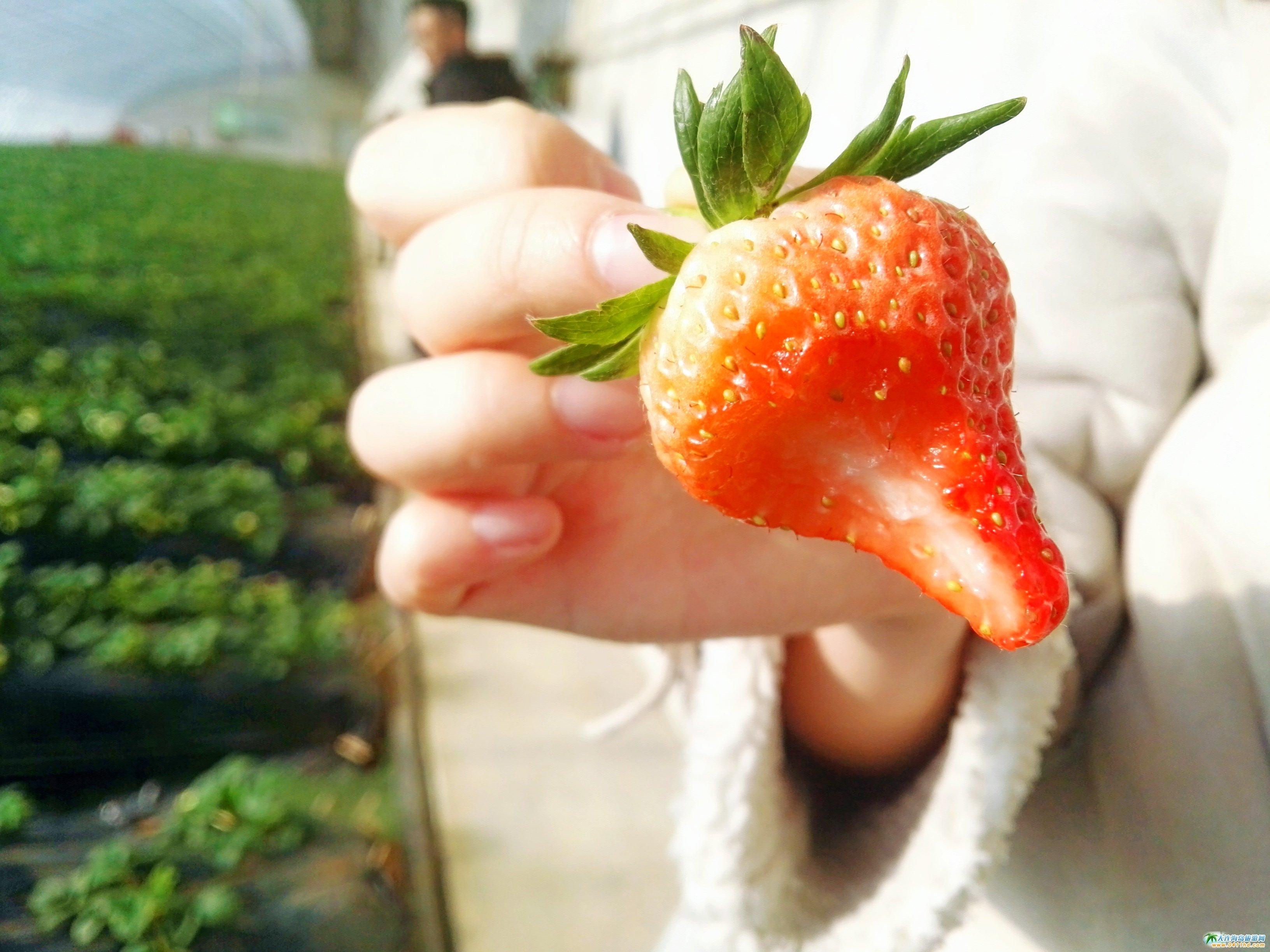 大连金州草莓采摘+金石滩唐风温泉自驾一日游