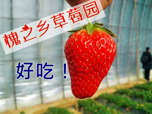 大连槐之乡草莓采摘园、金州草莓采摘园,槐之乡庄园好去处