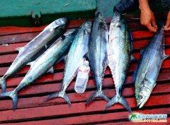 獐子岛钓鲅鱼图片