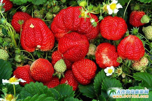 庄河常青树草莓生态园