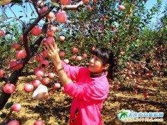 大连苹果采摘游,收获的是喜悦,采摘的是心情
