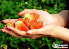 岔鞍村草莓采摘园实拍
