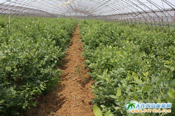 大连蓝莓采摘,大连富甲蓝莓采摘种植基地