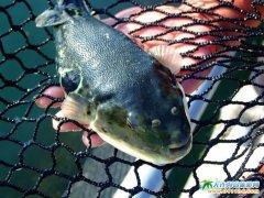 广鹿岛河豚鱼养殖――广鹿岛图片