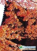 片片枫叶总关情――北海道赏枫