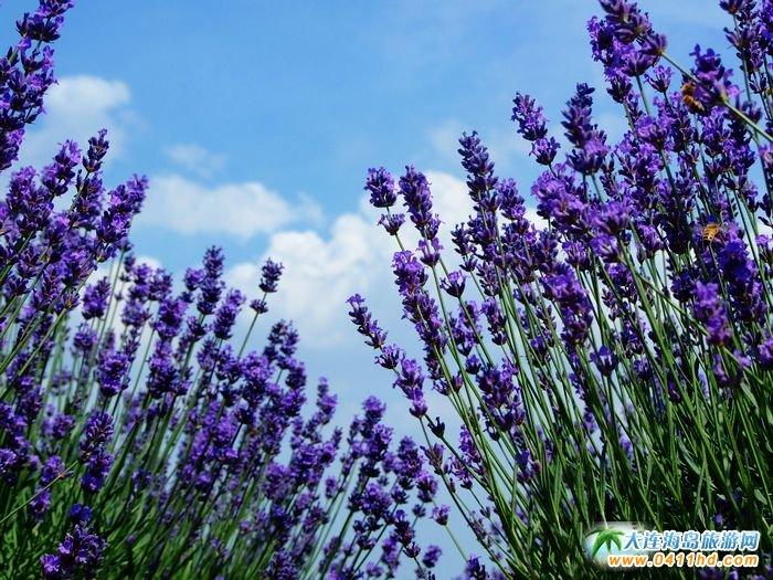紫色的张狂,为了爱的嚣张!2013大连薰衣草庄园图片1