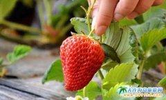 大连采摘草莓哪里好,旅顺铁山草莓采摘园好去处