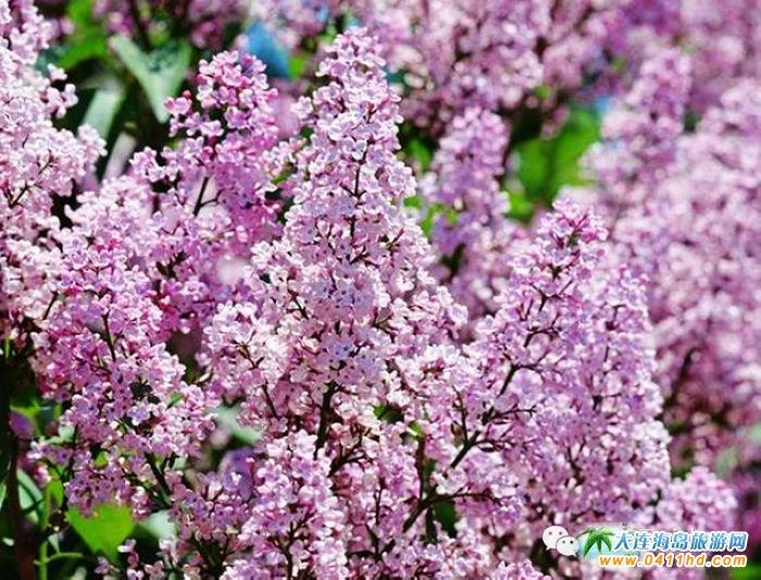 大连金州新区赏花点1:哈尔滨路