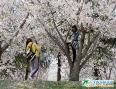 2018大连旅顺樱花节什么时候开始?