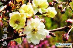 樱花赋――旅顺旅游集团摄影师李杰樱花作品图集