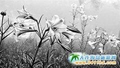 台湾台东太麻里针山区百合盛开惊艳游客