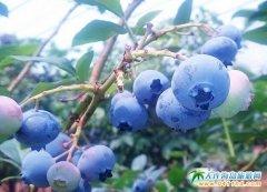 大连蓝莓狂欢季在大连金石滩黄金海岸举行
