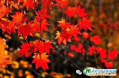 """天门山枫叶节为十一旅游再添一把""""火"""""""