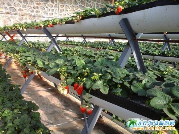旅顺瑞鑫生态休闲农庄草莓采摘