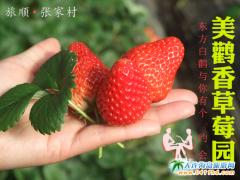 """大连旅顺美鹳香草莓园,""""东方白鹳""""与你有个约会"""