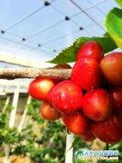 最早成熟的大棚樱桃2月23日在大连地区落果,售价280元每斤