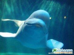 大连圣亚海洋世界游记-明星秀之白鲸小九