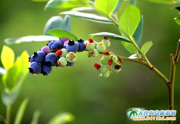 大连蓝莓采摘园