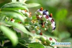 大连蓝莓采摘园(金普新区蓝莓种植园)
