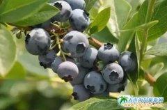 【蓝莓节专辑】樱桃节将尽,蓝莓节正热