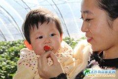 大连金州真爱草莓园  带您体验纯绿色有机草莓采摘