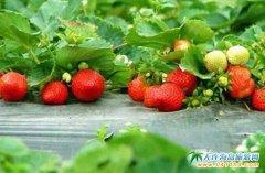 大连鸿运来草莓采摘园,大连周边草莓采摘好去处