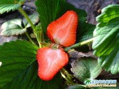 大连龙韵生态农业园(龙韵草莓园),做大连人的有机草莓品牌