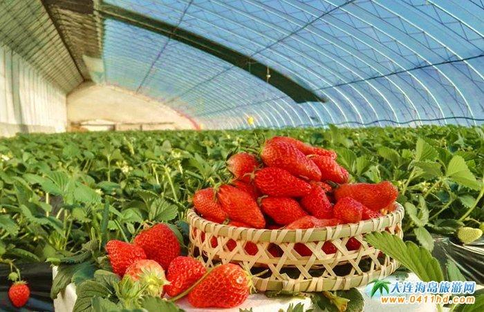 精彩的草莓图片――大连采摘网草莓拍摄图集1