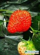 小草莓催生大产业,小草莓引爆大市场