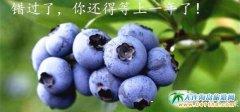 大连疆森黑果蓝莓采摘园,最美乡村里的蓝莓园