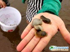 石城岛旅游之石城岛钓蝼蛄虾,捡泥螺