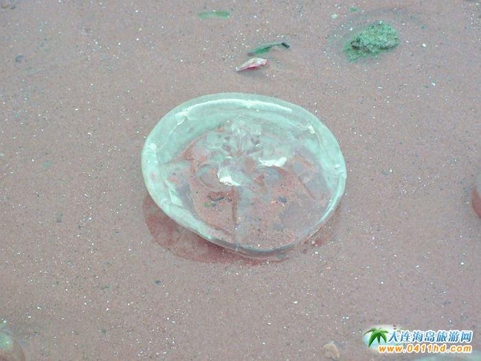 遗落在沙滩上的水晶――西中岛海边的漂亮海蜇
