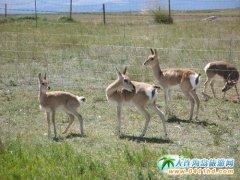 16只普氏原羚青海湖国家级自然保护区成功繁育