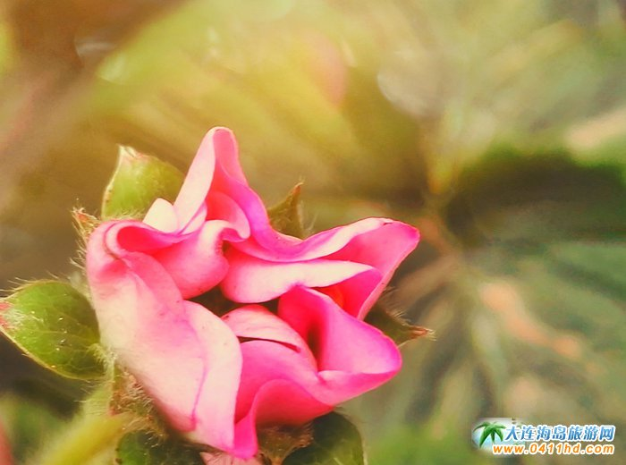 草莓花――也可以如此的娇艳