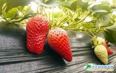 向应街道草莓种植户 积极备战草莓节