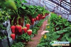 大连金州摘草莓丨吃农家饭丨赏薰衣草丨泡温泉一日游