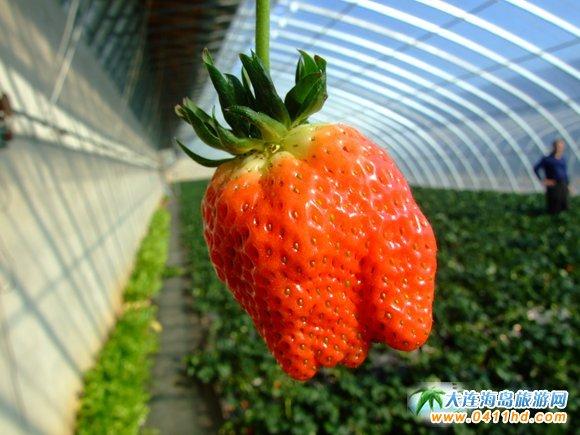 大连业行草莓园,小时候的草莓味道