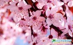 2017大连樱花节即将来临―大连十里樱花香节日