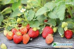采摘游成为常态,草莓节半程已过热度持续升温