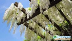 紫藤缭乱 日本除了樱花原来还有紫藤 日本旅游赏花季