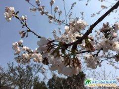 2017旅顺樱花抢先看 旅顺樱花园