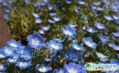 来日本旅游,看完樱花看蓝色粉蝶花
