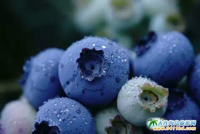 大连富甲蓝莓采摘园