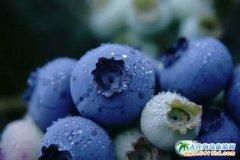 大连富甲蓝莓采摘园,富甲蓝莓味美又甘甜