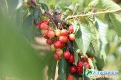 旅顺安忠采摘园,旅顺樱桃节指定采摘园,一家好吃的樱桃园子!