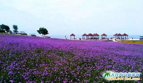 大连金石滩心悦岛文化休闲公园——花海与大海的邂逅