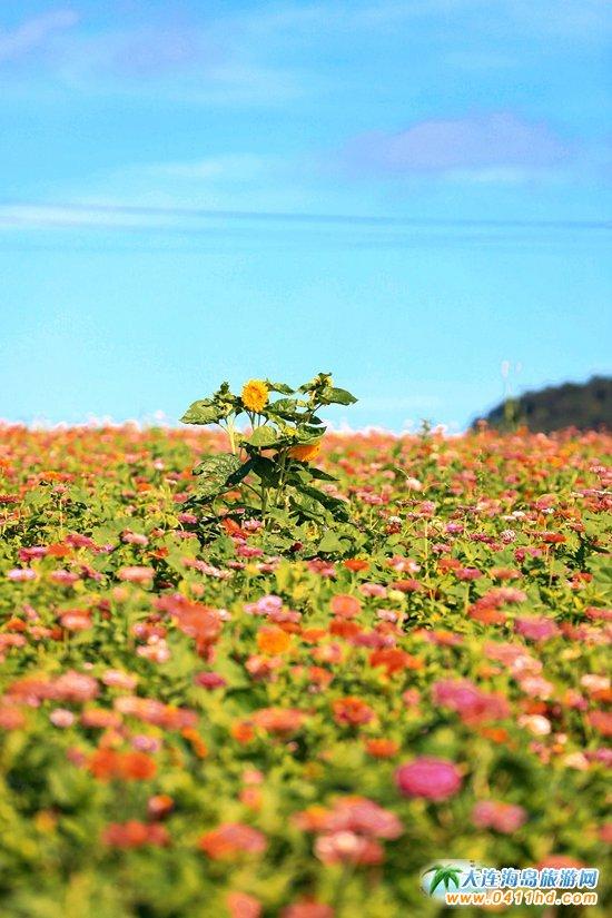 大美石城岛,炫丽多彩的花海