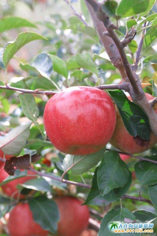 旅顺苹果采摘